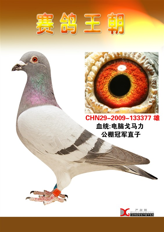 信鸽特征-电脑系列 宁夏赛鸽王朝