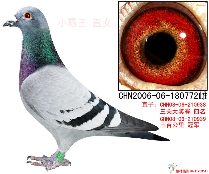 772vvcom_超悦772_超悦鸽舍_ag188.com爱鸽商城_中国信鸽信息网