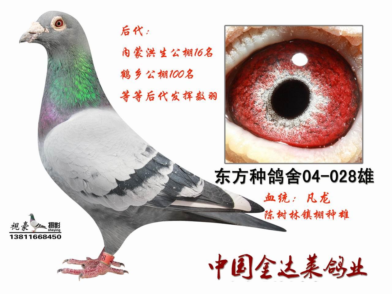信鸽特征-凡龙ME码 028 廊坊信鸽传媒
