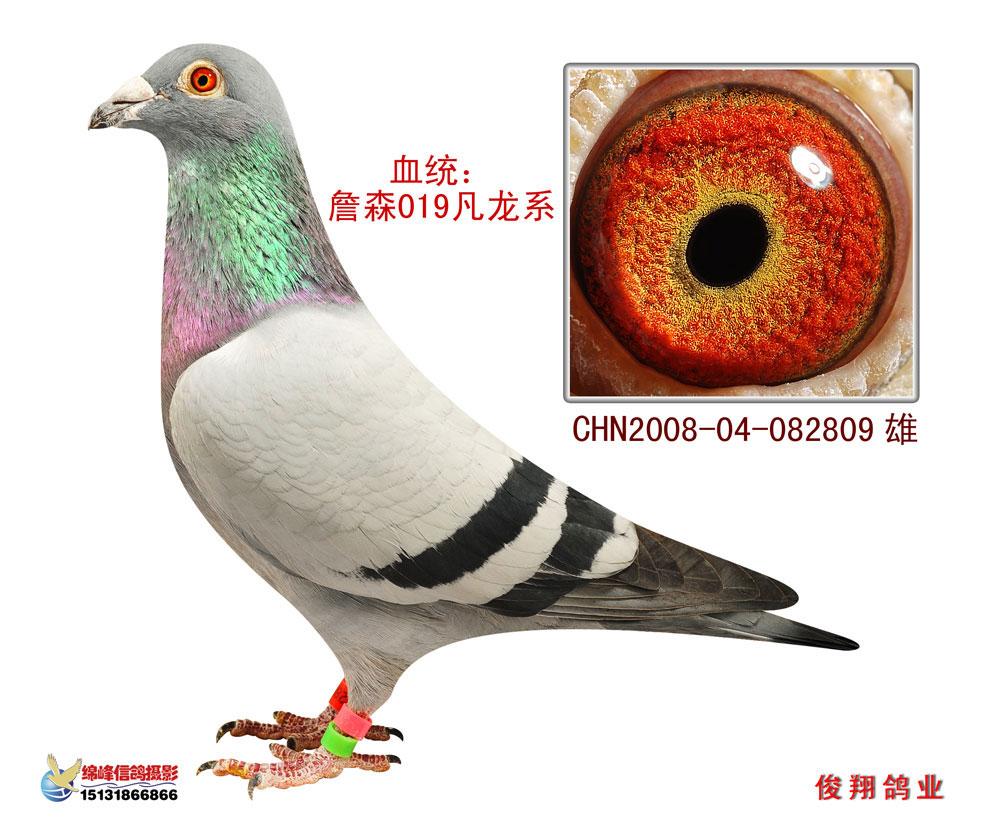 信鸽特征-詹森019x凡龙 山东俊翔鸽业