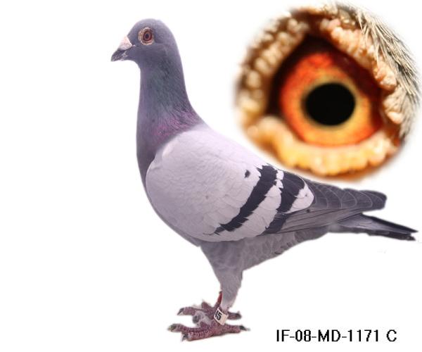 信鸽特征-詹森 凡龙 桑杰士1171