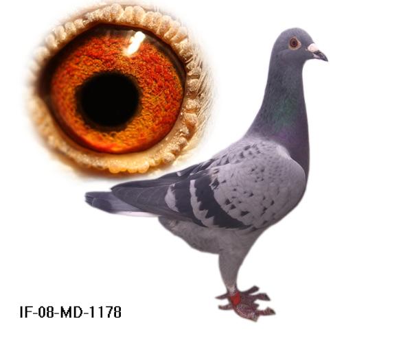 信鸽特征-凡龙 狄尔巴 詹森1178