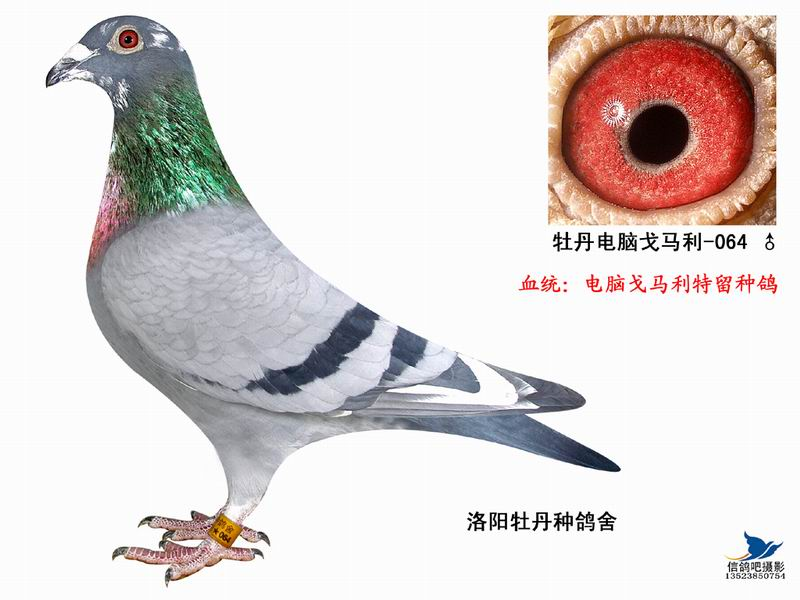 信鸽特征-电脑戈马利064