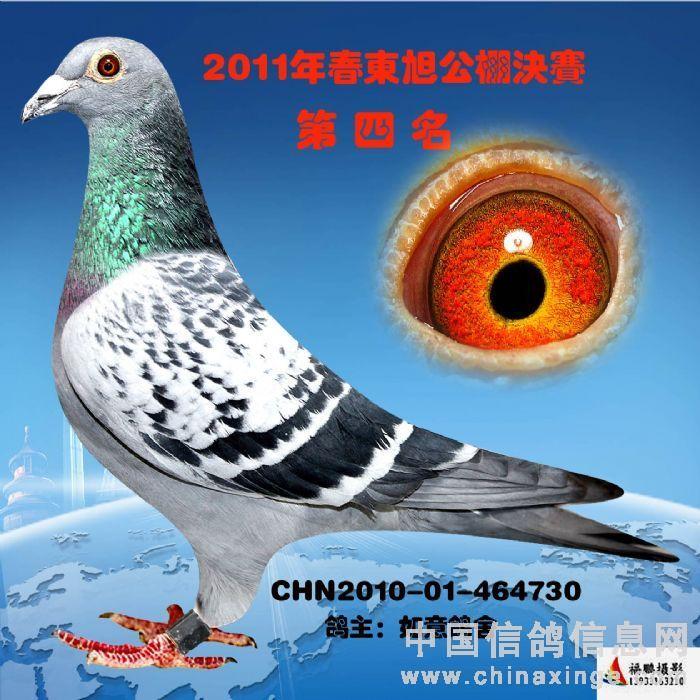胡本鸽子的特点和-信鸽特征-詹森 胡本 中英信鸽养殖基地
