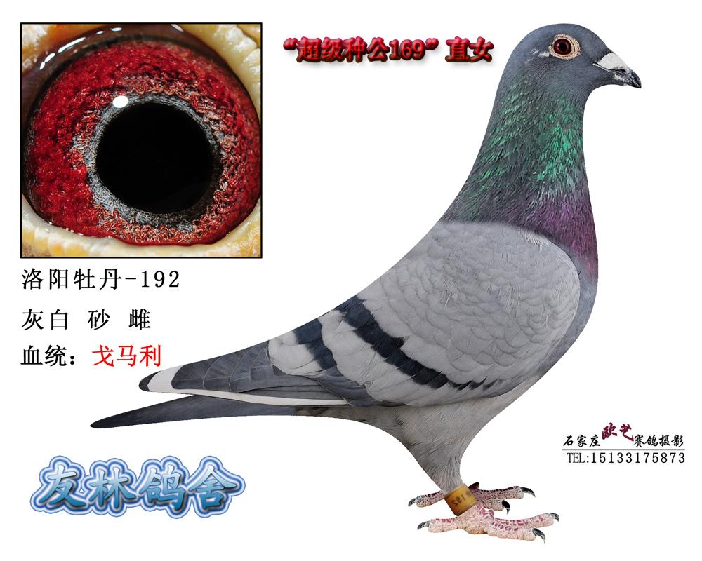 信鸽特征-电脑戈马利 020 曾孙