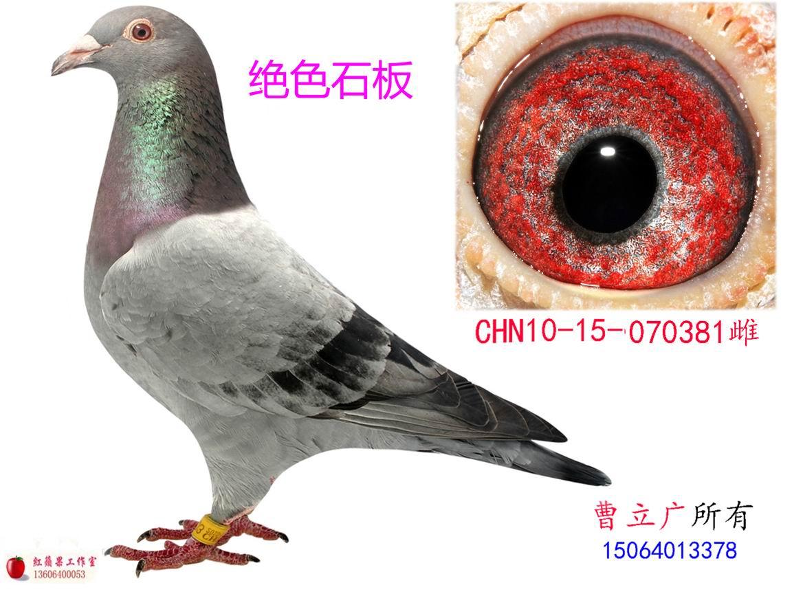 詹森 红狐狸赛鸽图片;   中国信鸽信息网   信鸽特征   詹森--019_0537