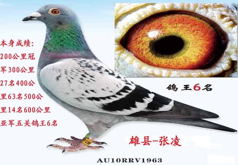 信鸽特征-凡龙超级73 鸽王6位 河北张凌