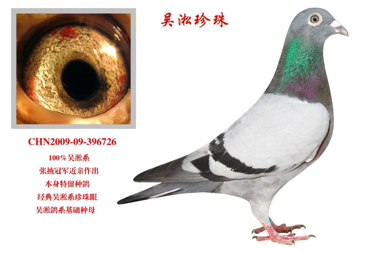 吴淞珍珠 信鸽特征 鸽名图片