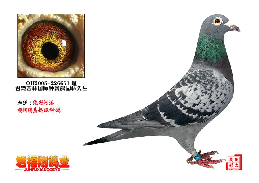 杨阿腾3 唐山君福祥鸽业