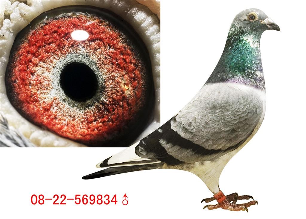 信鸽特征-凡龙银色影子 泸州永力赛鸽