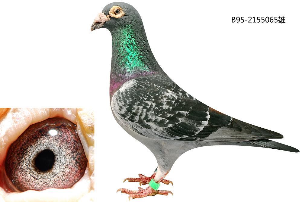 胡本鸽子的特点和-信鸽特征-胡本 鸽皇号 北京王少堂鸽舍