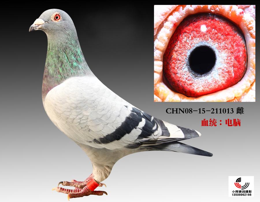 信鸽特征-长城 电脑戈马利013