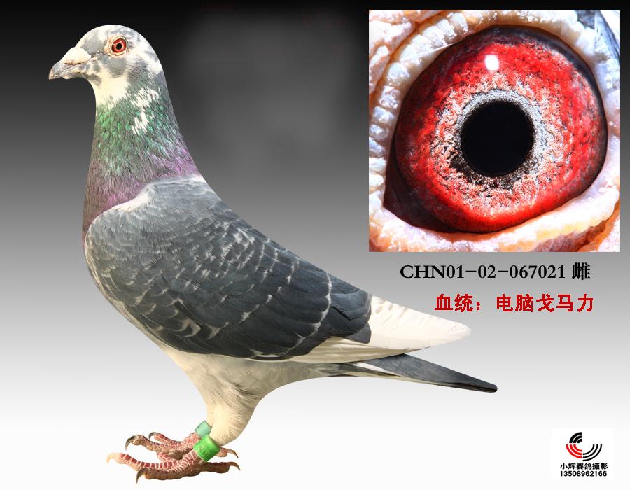 信鸽特征-长城 电脑戈马利021