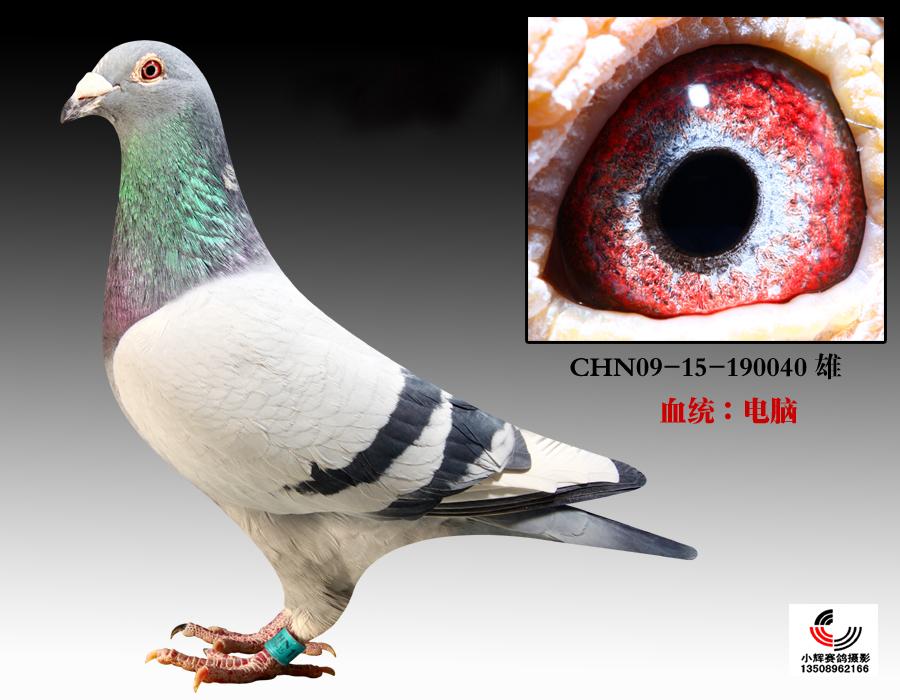 信鸽特征-长城 电脑戈马利 040
