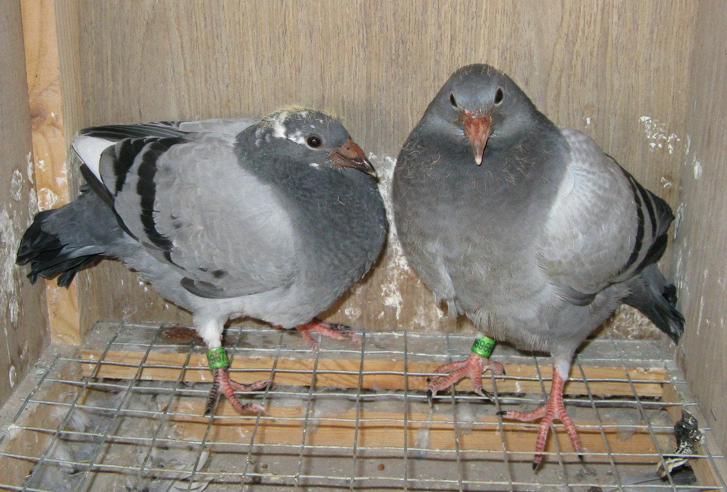 信鸽特征-小小电脑 江苏西部牛仔鸽业