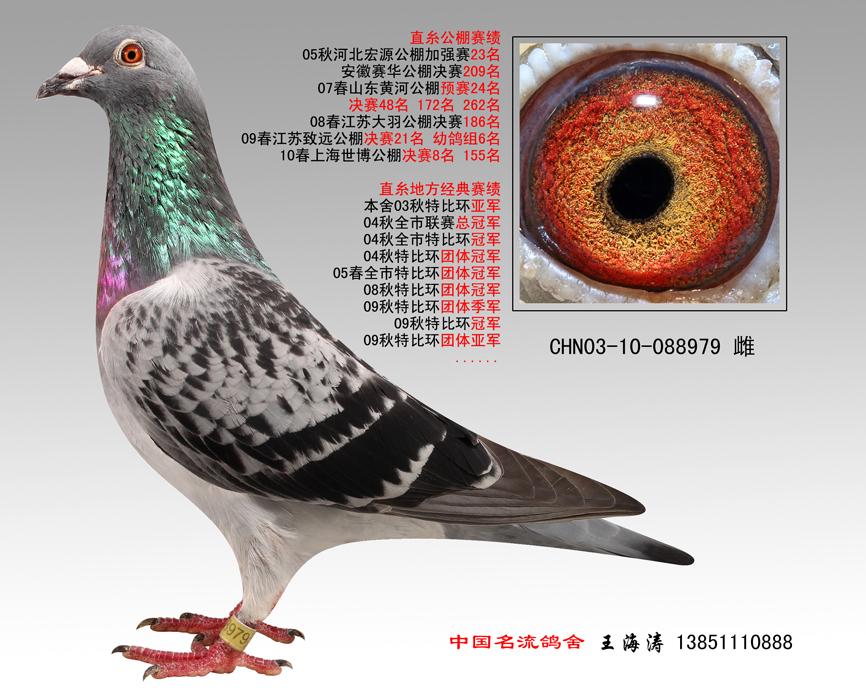胡本鸽子的特点和-信鸽特征-胡本种鸽 中国名流鸽舍