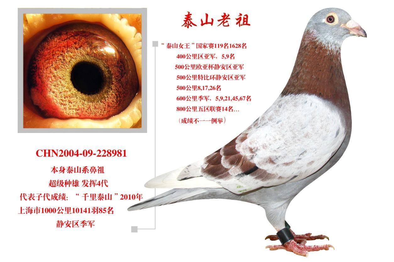 泰山老祖_UFO速飞鸽业_ag188.com爱鸽商城