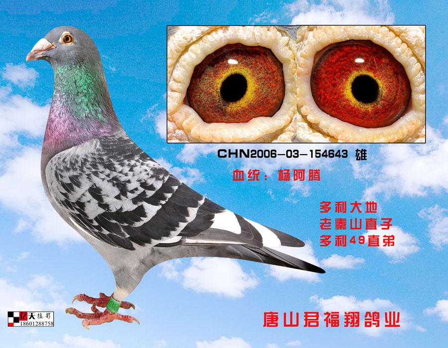 杨阿腾2 唐山君福祥鸽业