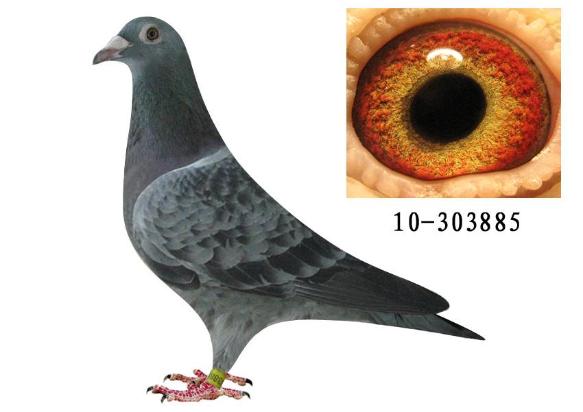 詹森信鸽的眼沙图片