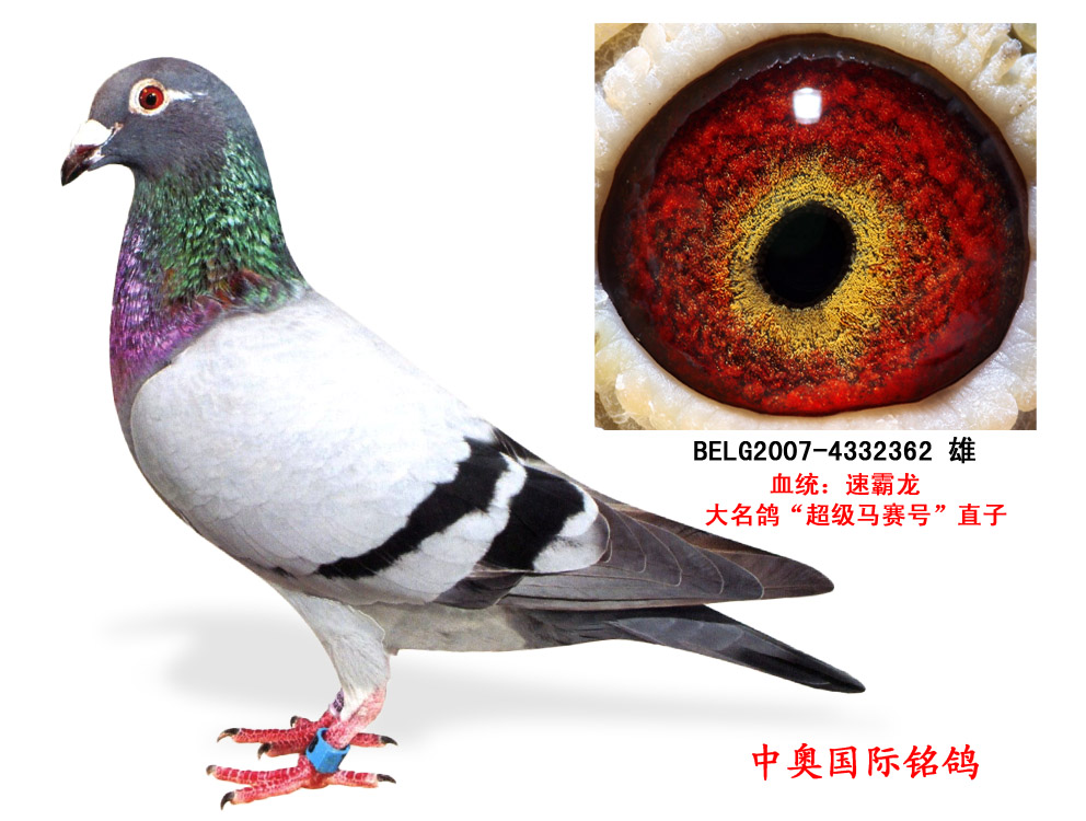 速霸龙大名鸽 超级马赛号 直子图片