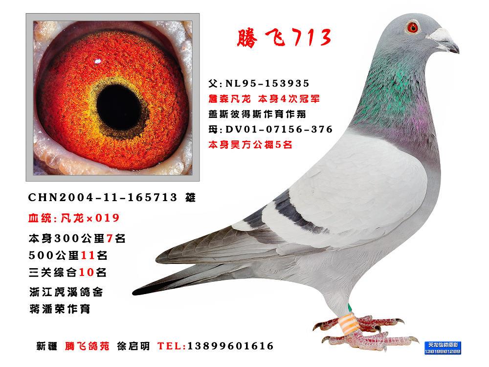 信鸽特征-凡龙019