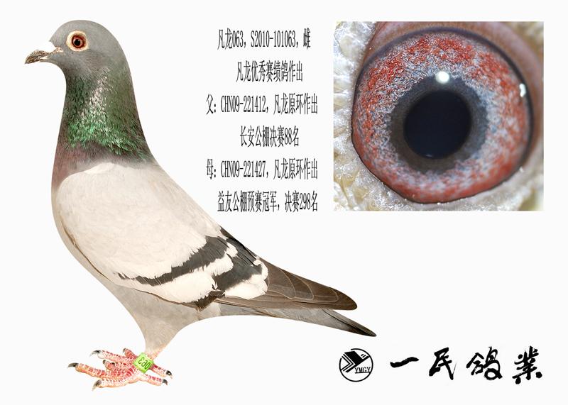 信鸽特征-凡龙063 襄樊一民网络鸽店