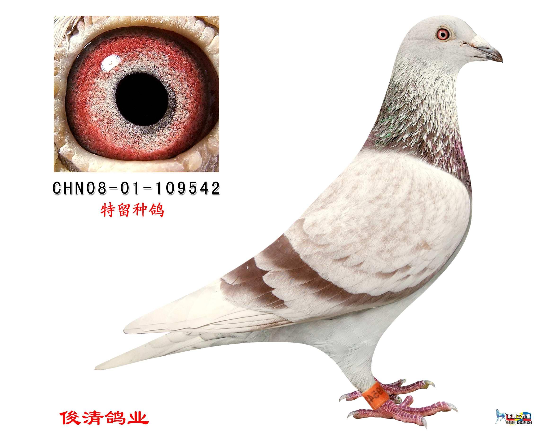 红狐731近血 超级种鸽