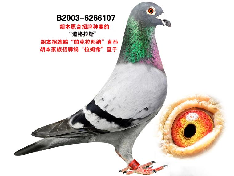 纯胡本信鸽眼砂图片