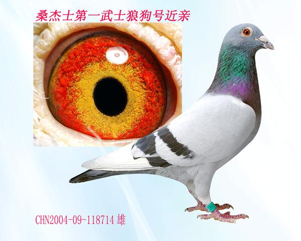 信鸽特征-04 11871桑杰士第一武士狼狗号近亲