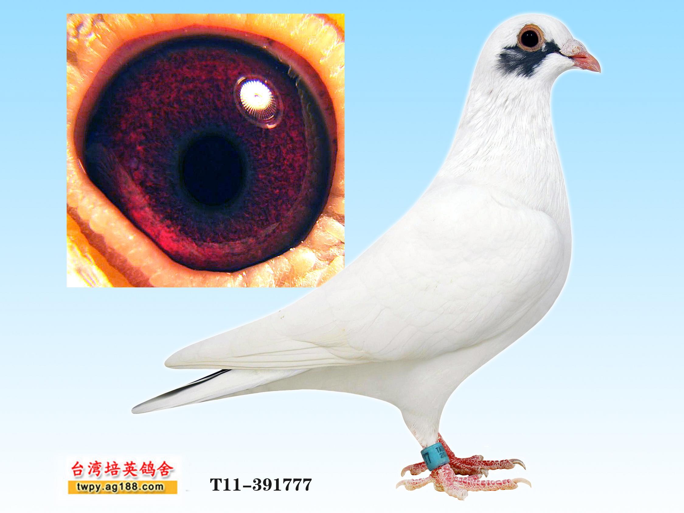 红绛信鸽眼砂配对图_信鸽眼砂图片展示_信鸽眼砂相关图片下载