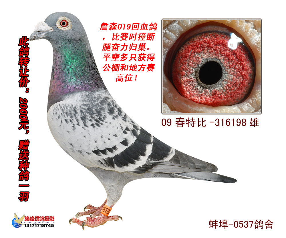 血统信鸽眼沙图片