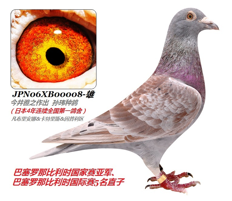 克拉克詹森信鸽图片,信鸽詹森黑眼砂图片图片