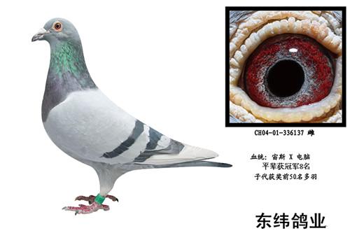 信鸽特征-宙斯直子X电脑戈马力