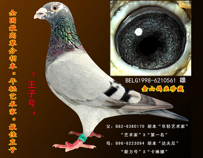 胡本信鸽配对图片