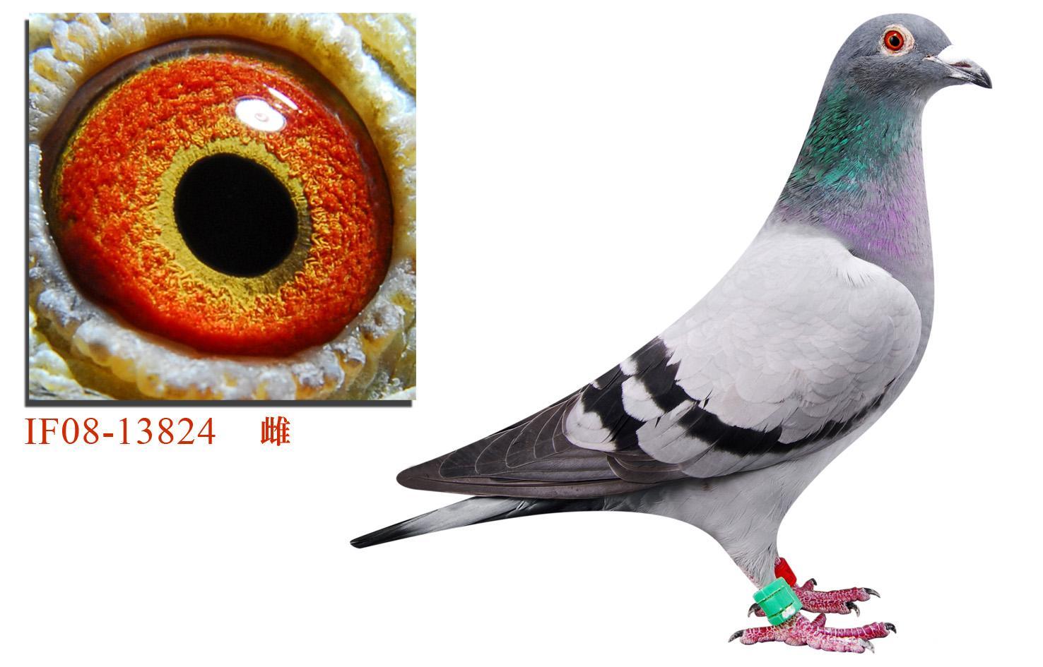 最早的原詹森019信鸽内容 最早的原詹森019信鸽版面设计图片