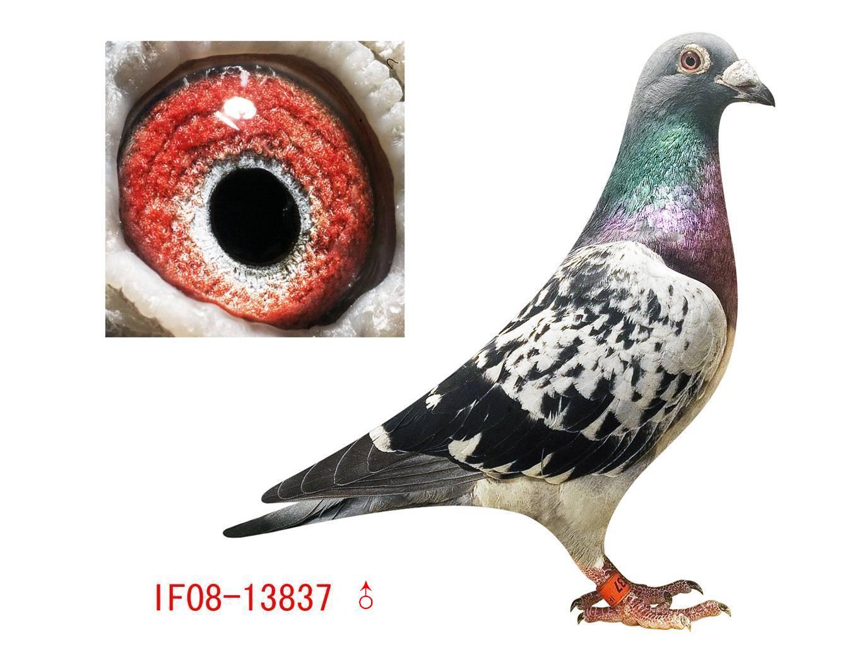 超级种鸽 37 北美鸽业