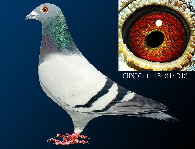 信鸽特征-波西瓦飞戈直子243