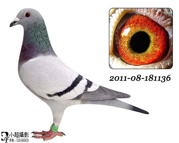 信鸽特征-电脑戈马利原舍冠军2011年孙代