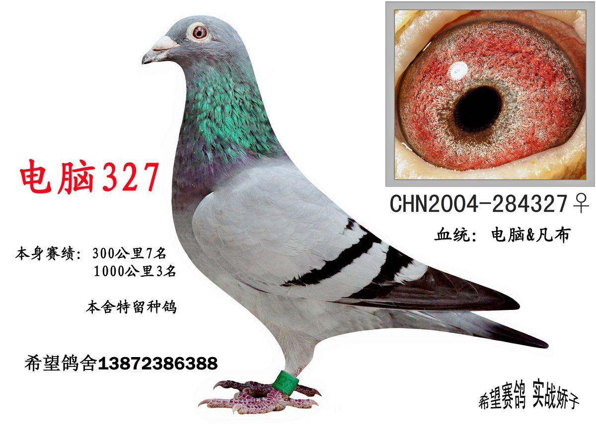 信鸽特征-电脑327 湖北希望鸽舍