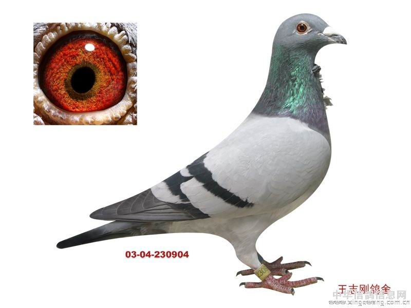 胡本信鸽鸽眼配对图