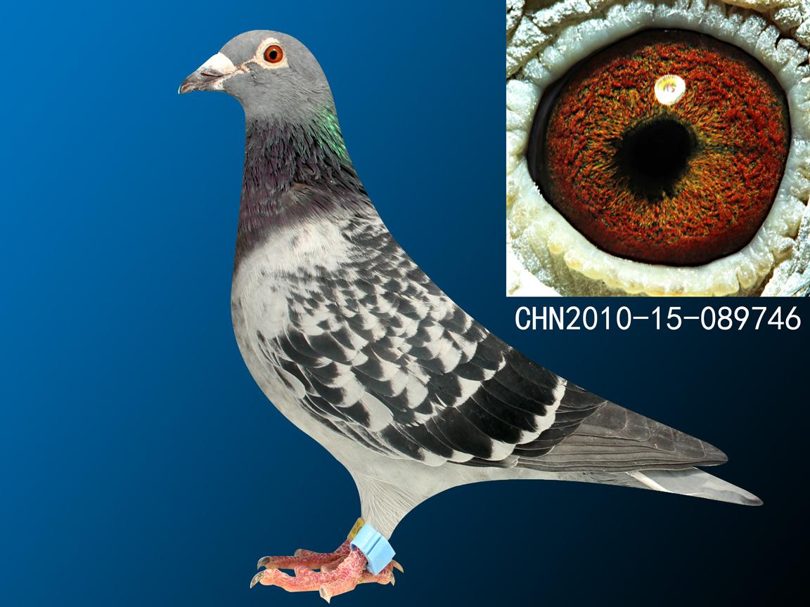 信鸽特征-电脑戈马利电脑008维龙直孙女746