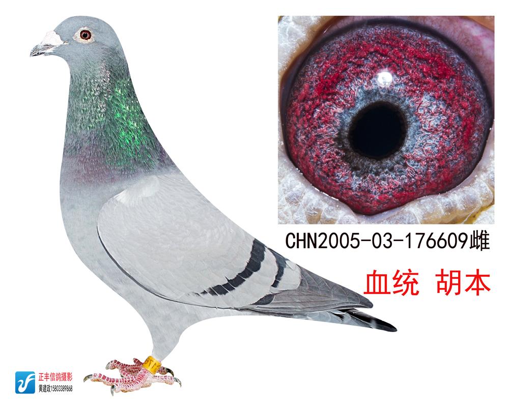 信鸽特征 鸽名 树林胡本609-树林胡本信鸽图片欣赏 胡本信鸽图片欣赏