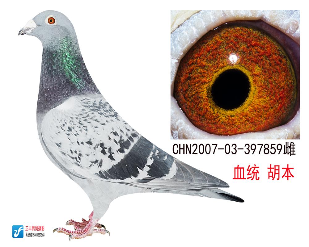 信鸽特征 鸽名 树林胡本859-树林胡本信鸽图片欣赏 胡本信鸽图片欣赏