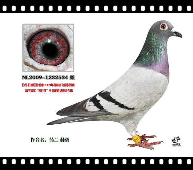 金环速霸龙 荷比温州赛鸽联盟图片