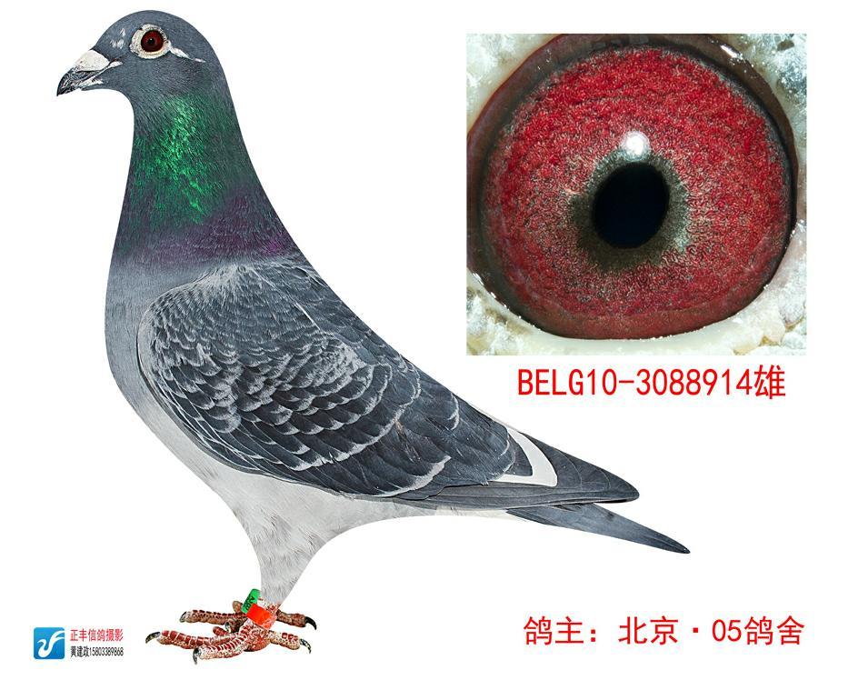 信鸽特征-飞戈血统 北京05鸽舍