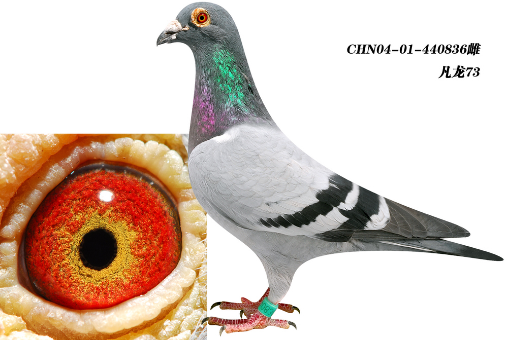 信鸽特征-最爱 凡龙73 北京福连赛鸽
