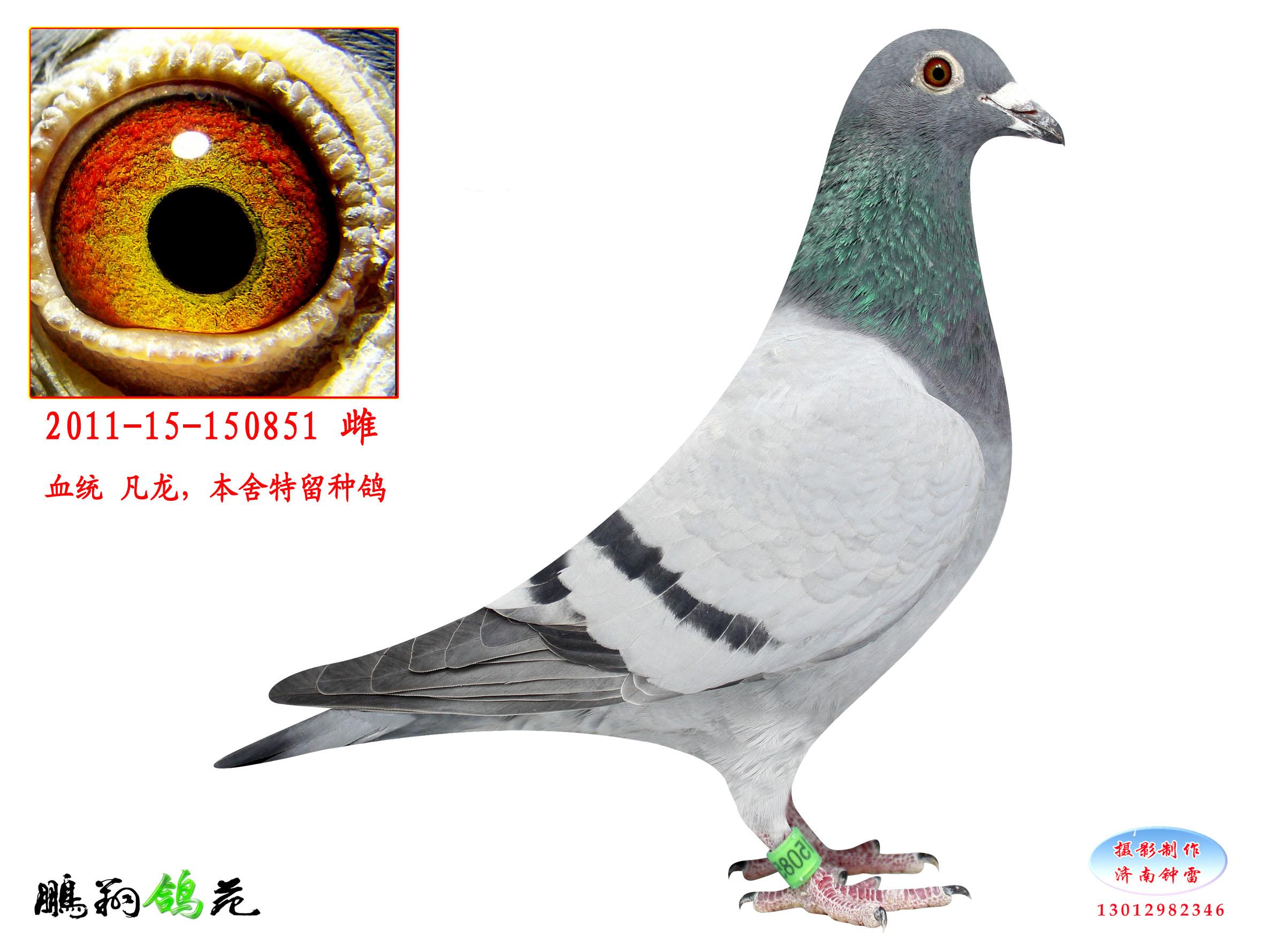 信鸽特征-凡龙特留种鸽 山东鹏翔赛鸽