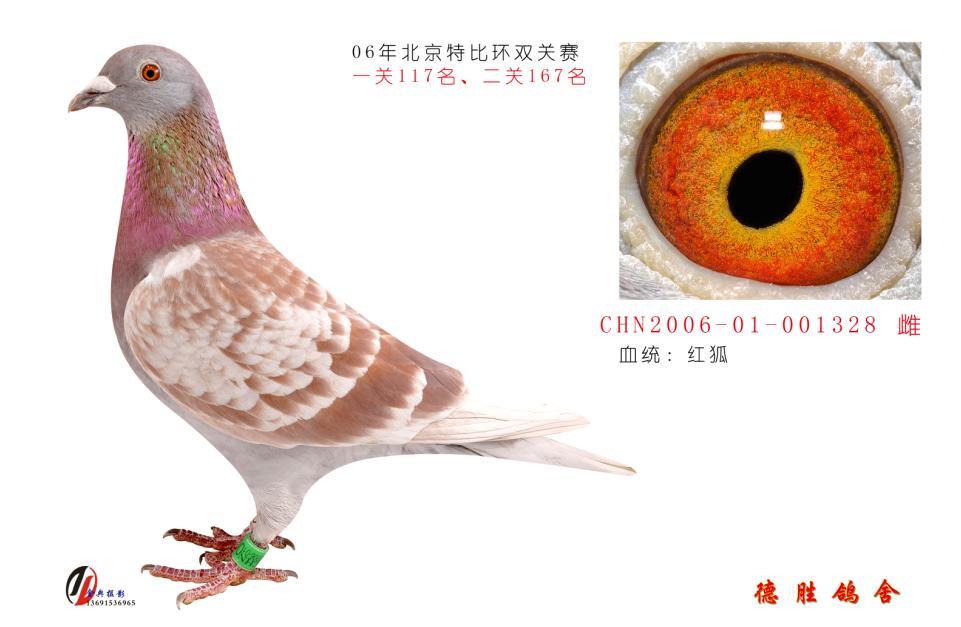 design 杨阿腾信鸽眼砂配对内容杨阿腾信鸽眼砂配对版面  信鸽詹森图片