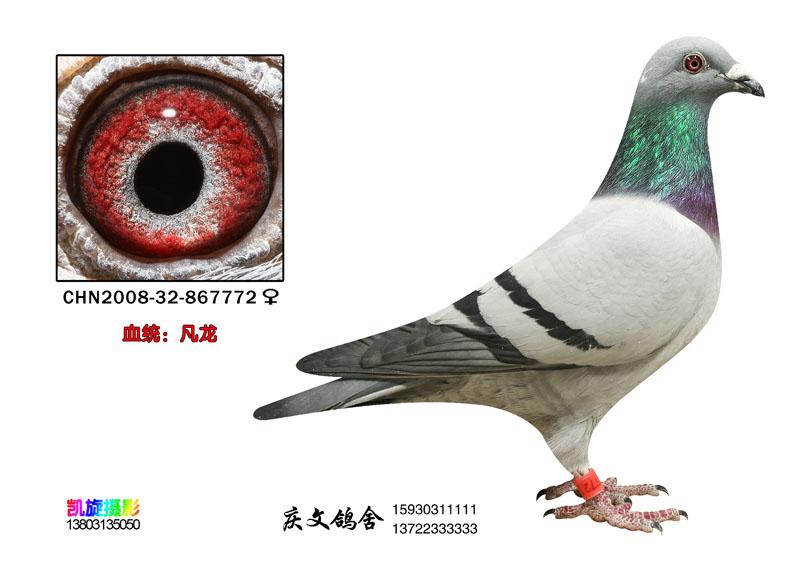 信鸽特征-凡龙 庆文鸽舍