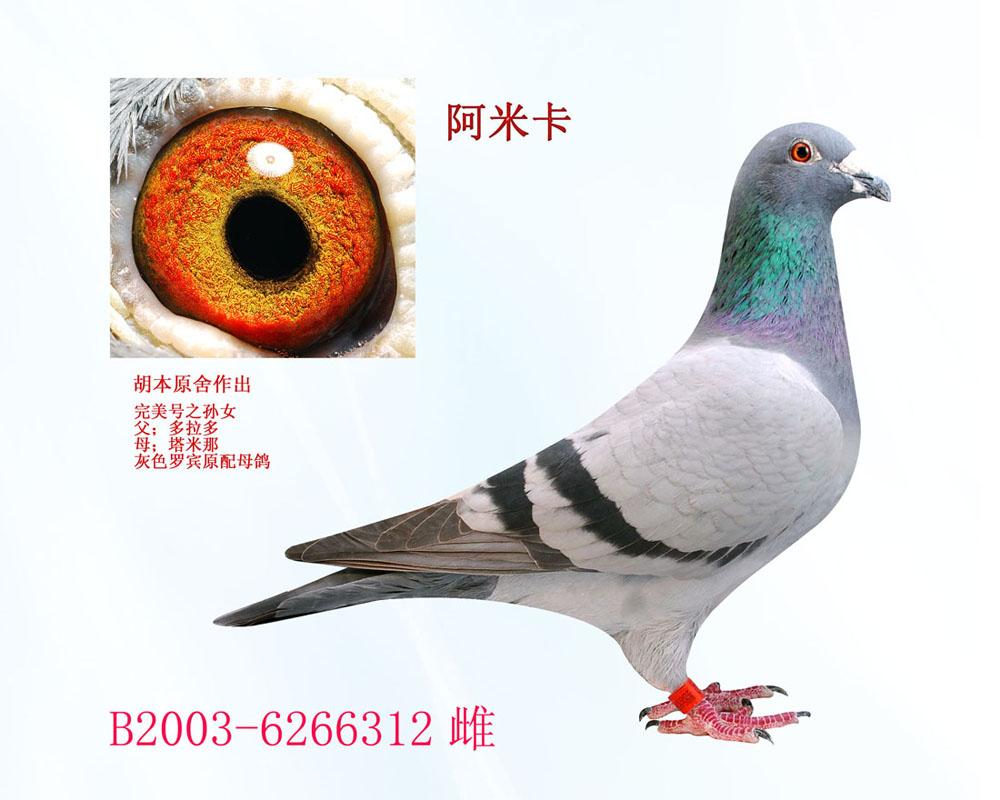 信鸽 阿米 胡本 种鸽